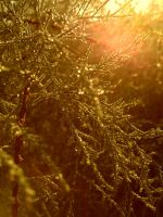 Morning light with dew drops by Sam-432