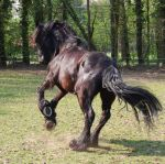 friesian rear by Esveeka-Stock