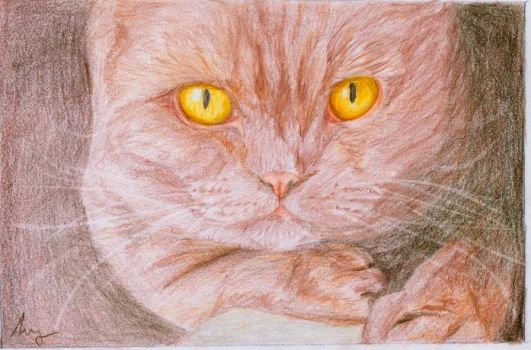 British Shorthair by i-UnKnown
