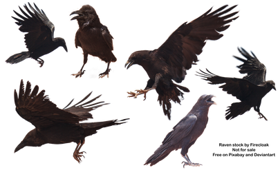 Common Raven Free Stock Photo (Transparent PNG) by firecloak