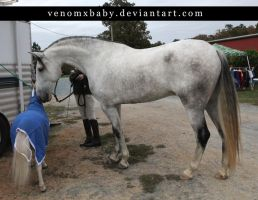 gray andalusian stallion 6 by venomxbaby