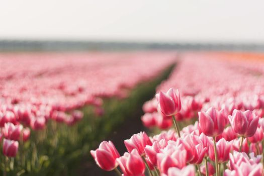 beautiful pink tulips. by by-sannee