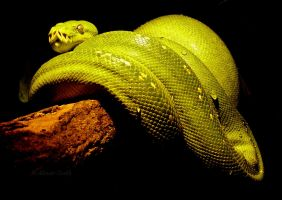 Green Tree Python (Morelia viridis) by Illirik