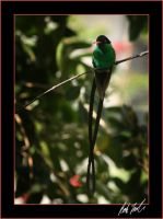 Jamaican Streamertail by SteelCowboy