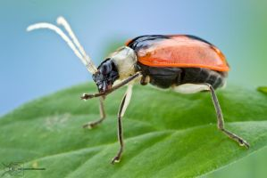 Beetle cleaning its leg by ColinHuttonPhoto