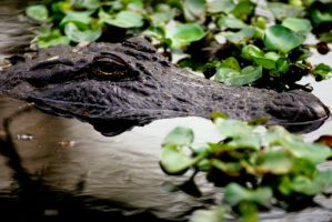 Alligator by Art-Photo