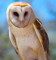 Magnificent Barn Owl by WilliamJCovello