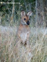 Red Necked Wallaby by BreeSpawn