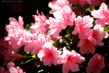 Pretty in Pink by JeanetteSedell