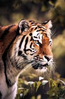siberian tiger 2 by Schoelli
