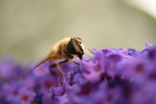 Hoverfly by sisikey
