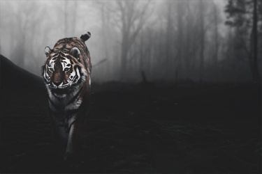 Tiger background by A7md3mad