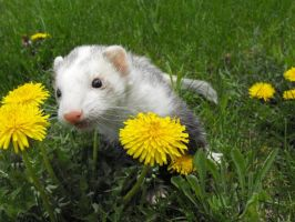Chompers in The Dandelions by Mauston-girl