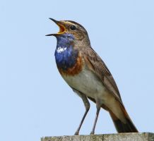 Blue Jazz - - Bluthroat by Jamie-MacArthur