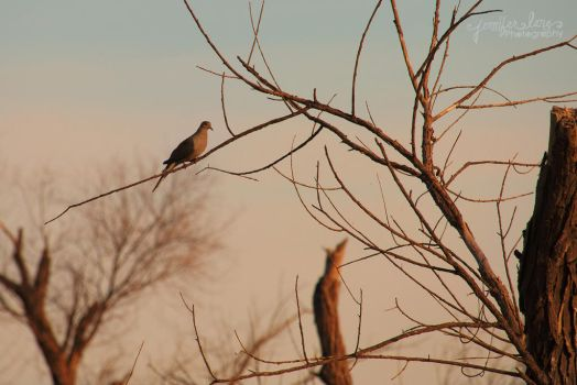 Mourning Dove by lanephotography