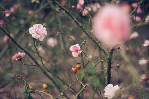 a study in pastels ii. by alais-photography