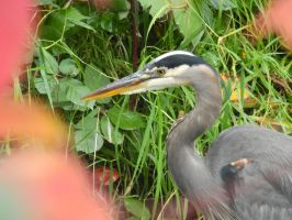 A Blue Heron in Autumn. by Matthew-Fuller