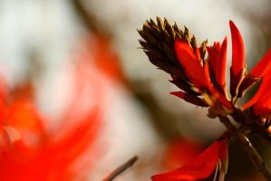 Blood Red Fire Flower by AjDev