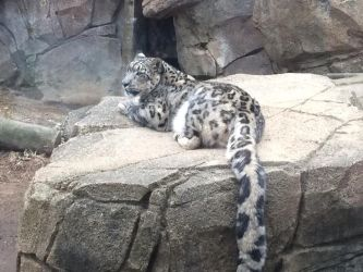 Snow Leopard by brianamcginnis