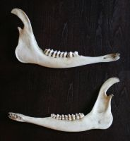 bones 16: deer lower jaw by cyborgsuzystock