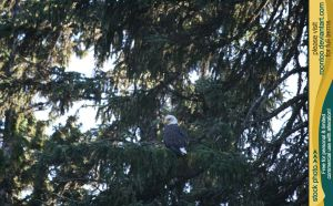 Bald eagle 1 by RoonToo