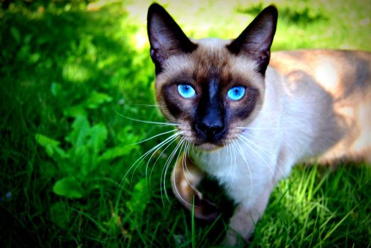 Siamese Cat by javitops