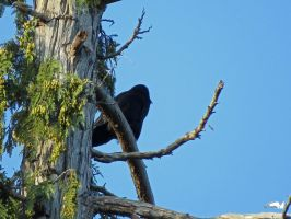 Crow Up In A Tree by wolfwings1
