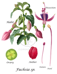 Fuchsia Dissection by comixqueen