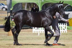 STOCK - 2014 TotR Arabians-55 by fillyrox