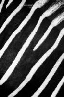 Zebra by chriskaula