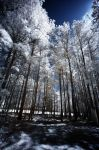 Tall Forest Of Infrared Trees by LDFranklin