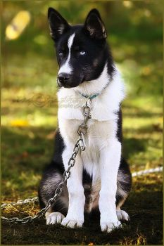 .:Husky Pup:. by WhiteSpiritWolf