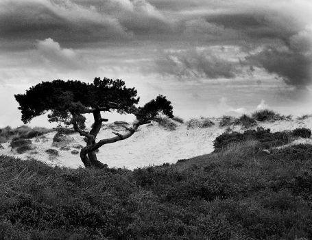 tree in the dunes by awjay