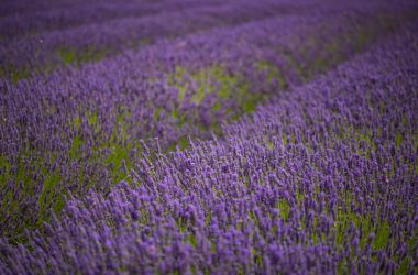 Lavender Fields Forever (4) by Mincingyoda