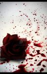 Red rose dying.