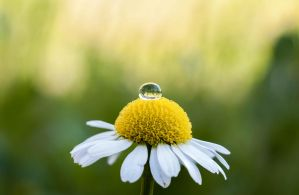 Drop on daisy by Miccighel