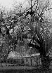 The great weeping willow... by thewolfcreek