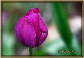 One Purple Tulip for Alex by e-CJ