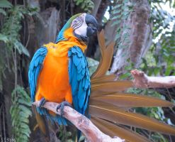 blue-and-yellow macaw by kiwipics