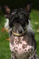 Curious chinese crested by BlastOButter