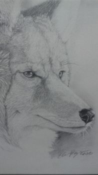 Whisker Shine - Coyote Tradish Drawing by Esaki