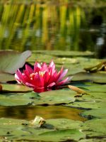Nymphaea. by HappinessWTF
