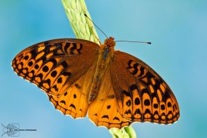 Great Spangled Fritillary - Speyeria cybele by ColinHuttonPhoto