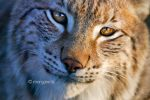 lynx VI by moem-photography