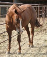Ranch Bred AQHA Gelding 13 by escapist1901