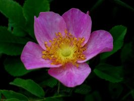 Wild Pink Rose by DWALKER1047
