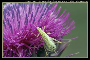 Cricket on a Bristle Thistle by boron