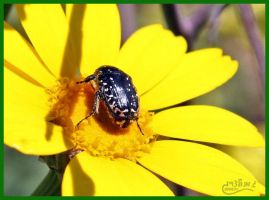 Beetle on Flower by gilonm