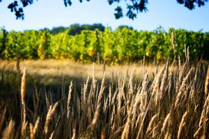 Wheat by GeoffroyVincens