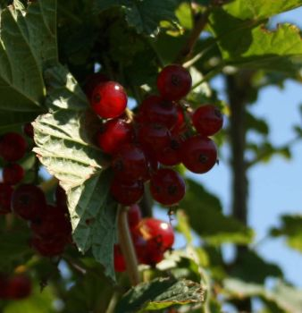 Summer Holly15 currant berries by loquid
